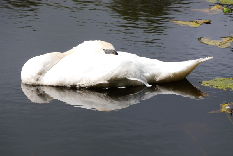 a swan napping